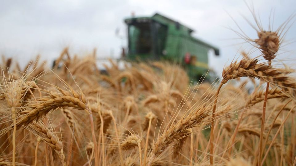 aratas(960x640)(1).jpg (aratás, búza, mezőgazdaság, )