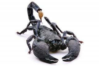Skorpio(960x640)(1).jpg (skorpió, )