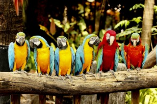Papagáj (papagáj)