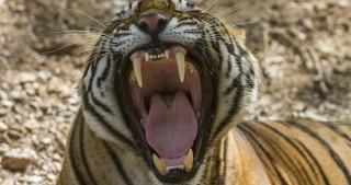 tigris(430x286).jpg (Array)