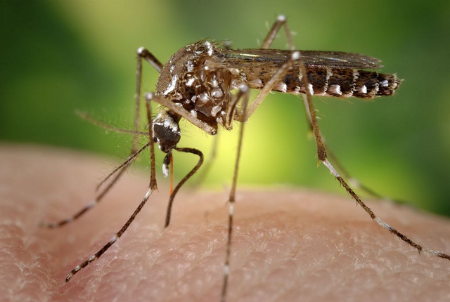 """2006 Prof. Frank Hadley Collins, Dir., Cntr. for Global Health and Infectious Diseases, Univ. of Notre Dame  This 2006 image depicted a female <i>Aedes aegypti</i> mosquito as she was obtaining a blood-meal from a human host through her fascicle, which had penetrated the host skin, was reddening in color, reflecting the blood?s coloration through this tubular structure. In this case, what would normally be an unsuspecting host was actually the CDC?s biomedical photographer?s own hand, which he?d offered to the hungry mosquito so that she?d alight, and be photographed while feeding. As it would fill with blood, the abdomen would become distended, thereby, stretching the exterior exoskeletal surface, causing it to become transparent, and allowed the collecting blood to become visible as an enlarging intra-abdominal red mass, as is the case in PHIL# 9175, and 9176.  As the primary vector responsible for the transmission of the <i>Flavivirus</i> Dengue (DF), and Dengue hemorrhagic fever (DHF), the day-biting <i>Aedes aegypti</i> mosquito prefers to feed on its human hosts. <i>Ae. aegypti</i> also plays a major role as a vector for another  <i>Flavivirus</i>, """"Yellow fever"""". Frequently found in its tropical environs, the white banded markings on the tarsal segments of its jointed legs, though distinguishing it as <i>Ae. aegypti</i>, are similar to some other mosquito species. Also note the lyre-shaped, silvery-white markings on its thoracic region as well, which is also a determining morphologic identifying characteristic."""