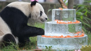 """(150921) -- DUJIANGYAN, Sept. 21, 2015 (Xinhua) -- Giant panda """"Pan Pan"""" enjoys his birthday cake at the China Conservation and Research Center for Giant Pandas in Dujiangyan City, southwest China's Sichuan Province, Sept. 21, 2015. Pan Pan celebrated his 30th birthday here on Monday, and became the oldest male panda in the world.  (Xinhua/Xue Yubin) (wf)"""