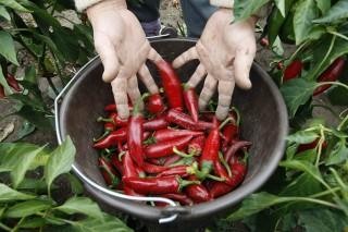 Tiszasas, 2013. október 1.Közmunkás frissen szedett fűszerpaprikákat rak egy vödörbe Tiszasason 2013. október 1-én.A település több, erre a célra fenntartott parcelláján közfoglalkoztatottak a helyi önkormányzat intézményeinek ellátására, valamint értékesítésre szánt zöldségféléket termelnek és dolgoznak fel a Start munkaprogram keretében.MTI Fotó: Bugány János