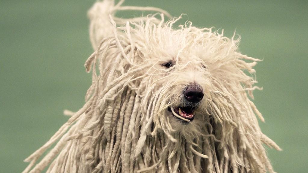 New York, 2007. február 13.A Quincy (Ch Gillian's Quintessential) nevű komondor fut 2007. február 12-én a 131. alkalommal megrendezett Westminster kutyakiállításon. A versengésben 2628 eb és gazdája vett részt. (MTI/AP/Seth Wenig)