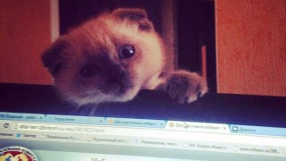 """A handout picture taken on September 15, 2014 and released by administrators of the Altai Online page on Russian social network VK shows Barsik the cat emerging from behind a laptop in Barnaul.  Fed up with corruption and nepotism among local officials, residents of a far-flung Siberian city are yearning for a more feline kind of political representation. Barsik the cat has been propelled to stardom after finishing far ahead of his human rivals for the post of mayor of Barnaul in an unofficial poll run by a popular regional social media page. Political apathy and resentment over corruption scandals at city hall helped the 18-month-old Scottish Fold claw nearly 91 percent of more than 5,400 votes.  / AFP / ALTAI ONLINE / HO / RESTRICTED TO EDITORIAL USE - MANDATORY CREDIT """"AFP PHOTO / ALTAI ONLINE / HANDOUT """" - NO MARKETING NO ADVERTISING CAMPAIGNS - DISTRIBUTED AS A SERVICE TO CLIENTS"""