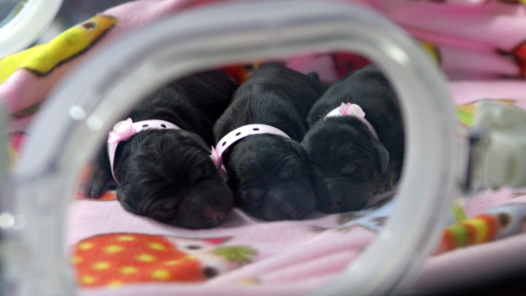 """This handout picture taken on September 24, 2014, and released December 1, 2015 by Boyalife Group shows three cloned puppies in an incubator at a facility in Tianjin. The Chinese scientist behind the world's biggest cloning factory has technology advanced enough to replicate humans, he told AFP, and is only holding off for fear of the public reaction.   AFP PHOTO / BOYALIFE GROUP----EDITORS NOTE---- RESTRICTED TO EDITORIAL USE - MANDATORY CREDIT """"AFP PHOTO / BOYALIFE GROUP """" - NO MARKETING NO ADVERTISING CAMPAIGNS - DISTRIBUTED AS A SERVICE TO CLIENTS - NO ARCHIVES / AFP / Boyalife Group / BOYALIFE GROUP"""