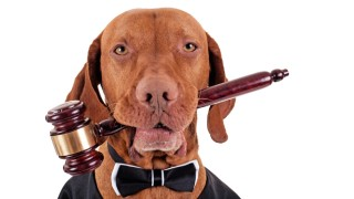 golden color pure breed vizsla dog holding a wooden gavel in mouth isolated on white background