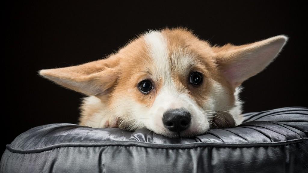 Welsh corgi pembroke puppy laying on a cushion