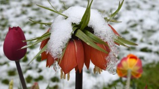 A crown imperial flower is snow covered on a cold spring morning with temperatures around three degrees at a field near the small Bavarian village Alling, southern Germany, on April 27, 2016.  / AFP PHOTO / CHRISTOF STACHE