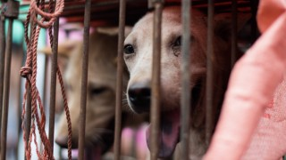 A dog looks out from its cage at a stall as it is displayed by a vendor as he waits for customers during a dog meat festival at a market in Yulin, in southern China's Guangin Yulin, in southern China's Guangxi province on June 22, 2015. The city holds an annual festival devoted to the animal's meat on the summer solstice which has provoked an increasing backlash from animal protection activists. AFP PHOTO / JOHANNES EISELE / AFP / JOHANNES EISELE