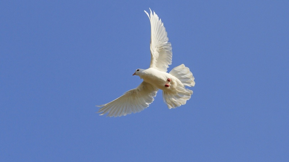 white homing pigeon among the blue sky