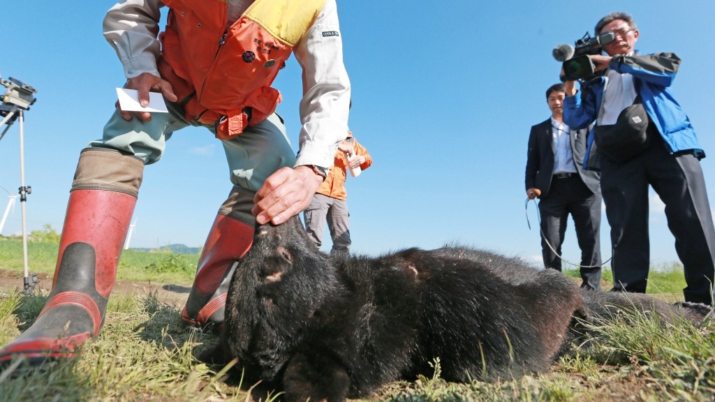 Hunters conforms the body of a black  bear on the ground in Kazuno, Akita Prefecture  on June 10, 2016. Local hunters shot the female Asian black bear dead in a mountainous area.  According to the local police, four people were killed by bears and the last body of a woman believed to have been killed.  ( The Yomiuri Shimbun )
