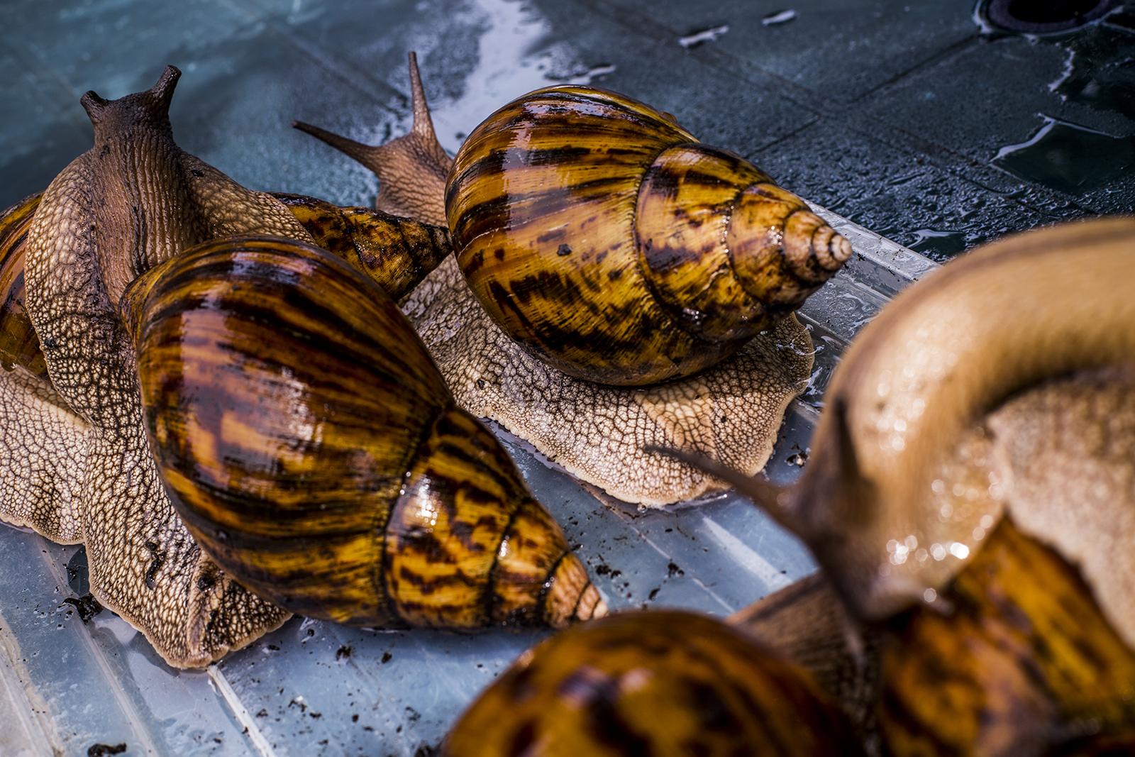 pikkelysömör kezelése Achatina csigákkal)