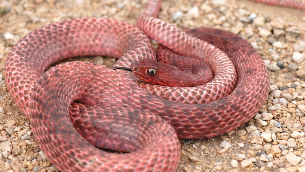 This bright red colored snake is a coachwhip from western Texas.