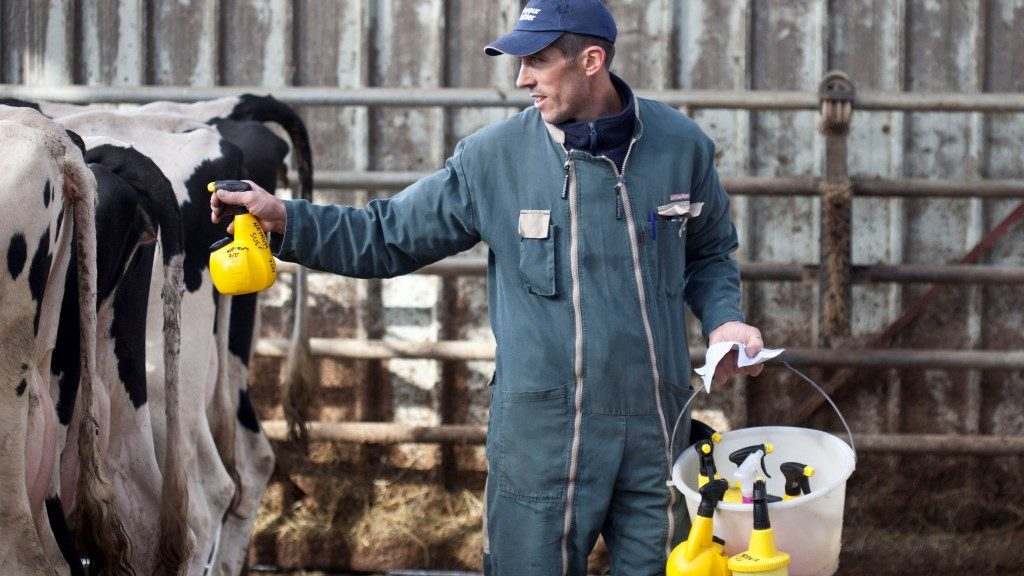 Homeopathic treatment of Holstein Cow France. Spraying of a dilution of granules on the vulva of the cow. Each spray contains a different product. Biosphoto / Claudius Thiriet