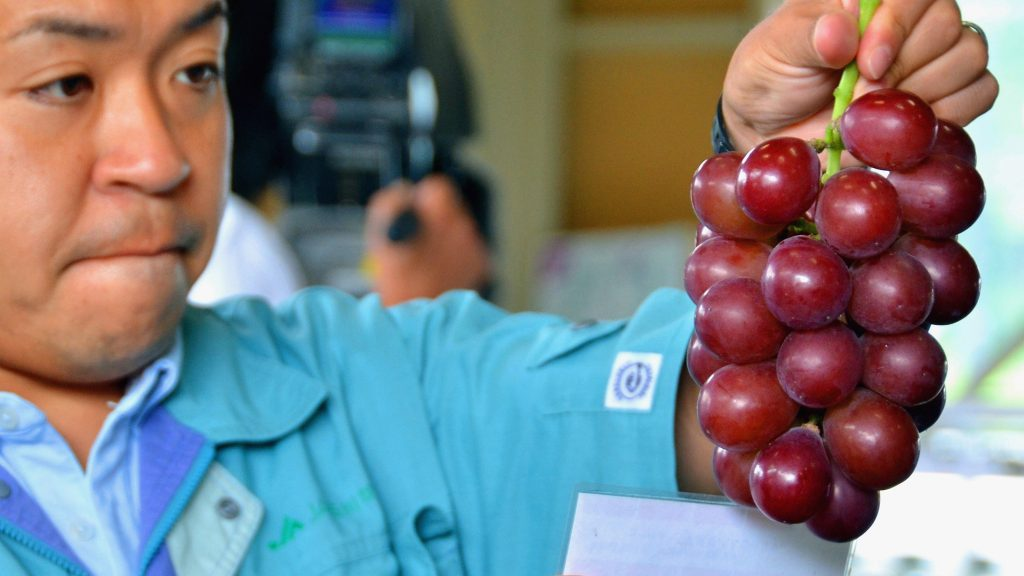 KAHOKU, JAPAN - JULY 04:  (CHINA OUT, SOUTH KOREA OUT) A staff checks the quality of the high end grape 'Ruby Roman' at an assembly center on Jul 4, 2014 in Kahoku, Ishikawa, Japan. The first auction of the season will take place on July 5.  (Photo by The Asahi Shimbun via Getty Images)