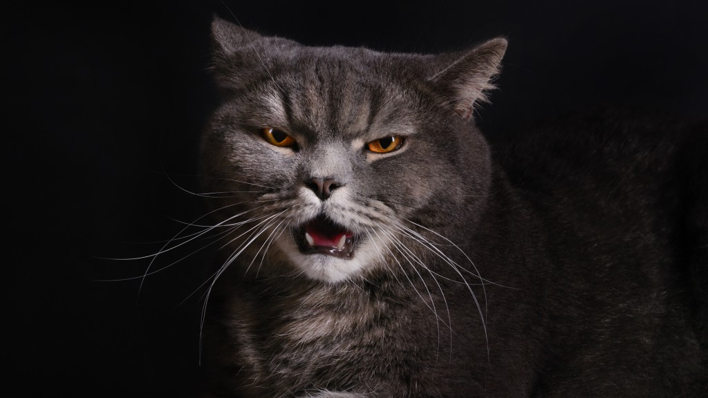 Angry gray cat on a black background