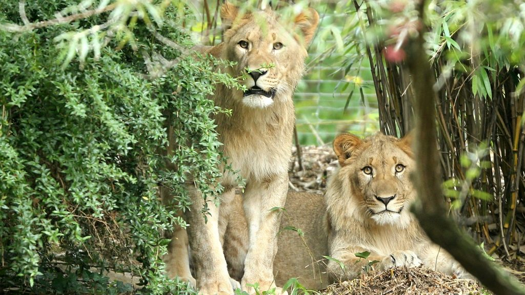 The lion-males Motshegetsi (l) and Majo look on carefully from a bush in the outer enclosure of the lion savannah in the Zoo Leipzig in Leipzig, Germany, 20 September 2016. Both Etosha lions have been in the city since mid-August although it took until recent days to take hold of their new territory which the public can now see. As of today, visitors can see the new residents. After the departure of the lonely lion Matadi, the Zoo now wants to start a new pack as well as start breeding pureblood African lions a new. Photo: JAN WOITAS/DPA