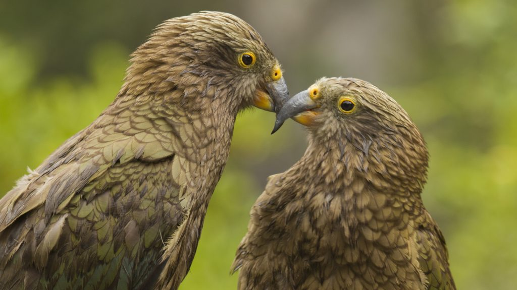 Closeup of a pair of juvenile Keas against a soft green background. Photographed in the wild at Arthur's Pass, New Zealand.