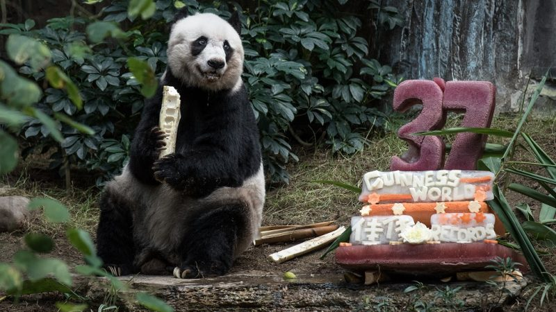 (FILES) In this file photograph taken on July 28, 2015, giant panda Jia Jia eats a bamboo stick next to her cake made of ice and fruit juice to mark her 37th birthday at an amusement park in Hong Kong, making her the oldest giant panda ever kept in captivity, ageing to the equivalent of more than 100 in human terms.  Jia Jia died on October 16, 2016, aged 38. / AFP PHOTO / PHILIPPE LOPEZ