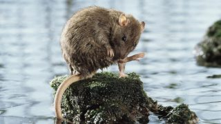 Brown rat (Rattus norvegicus) grooming on rock surrounded by water. Captive, UK