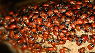 Ladybugs swarming over a rock