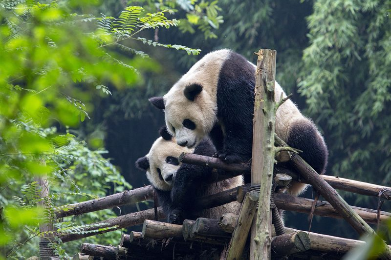 CHENGDU RESEARCH BASE OF GIANT PANDA BREEDING, CHENGDU, SICHUAN PROVINCE, CHINA - 2015/09/21: Two young Pandas play on the wooden terrace.  Chengdu Research Base of Giant Panda Breeding, founded in 1987, is a non-profit research and breeding facility for giant pandas and the worlds only museum that focuses entirely on the endangered giant panda.  According to the census of 2014, there are only 1,864 giant pandas alive in the wild. (Photo by Zhang Peng/LightRocket via Getty Images)