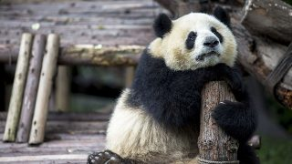 CHENGDU RESEARCH BASE OF GIANT PANDA BREEDING, CHENGDU, SICHUAN PROVINCE, CHINA - 2015/09/21: A young Panda hugs a log railing, musing on the wooden terrace.  Chengdu Research Base of Giant Panda Breeding, founded in 1987, is a non-profit research and breeding facility for giant pandas and the worlds only museum that focuses entirely on the endangered giant panda.  According to the census of 2014, there are only 1,864 giant pandas alive in the wild. (Photo by Zhang Peng/LightRocket via Getty Images)