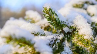 Fir branches covered with fresh snow, with frozen droplets of ice. Winter forest.