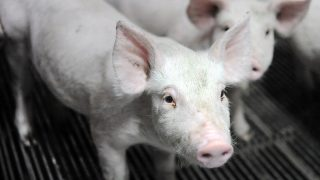 (FILES) This file photo taken on August 18, 2015 shows piglets waiting in a livestock farm in Locronan, western France.France knows a boom with the organic farming, with a conversion record for dairy farmers since January, but it remains an exception in the pig farming sector, with less than 1% of production, against 10% for milk. / AFP PHOTO / FRED TANNEAU