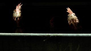 Zárt technológiával tartják a tojótyúkokat egy ráckevei telepen