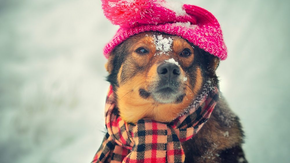 Dog wearing knitted hat with pompom and scarf walking outdoor in winter