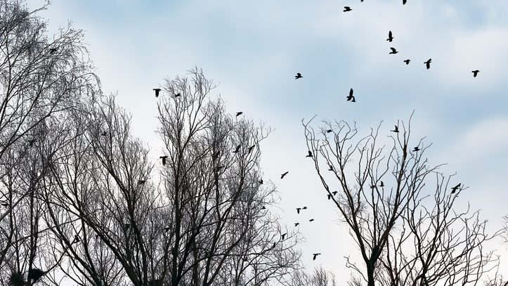 Silhouettes of crows flying among the leafless trees against the gray and blue sky. Selective focus.