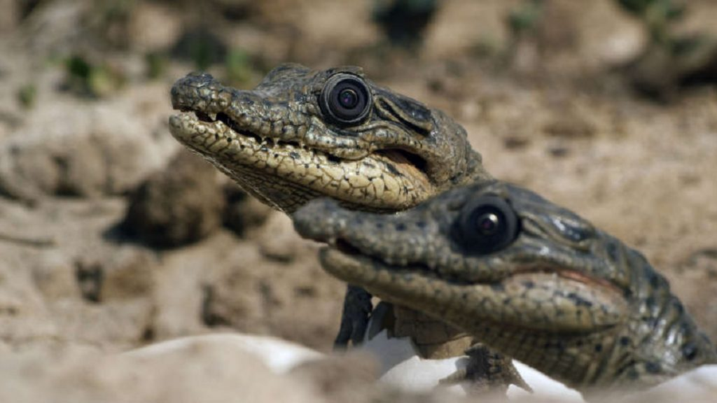 WARNING: Embargoed for publication until 00:00:01 on 31/12/2016 - Programme Name: Spy in the Wild - TX: n/a - Episode: Spy in the Wild - Love (No. 1) - Picture Shows: Spy Crocodile with hatchlings. Uganda.  - (C) John Downer Productions - Photographer: Mike Richards