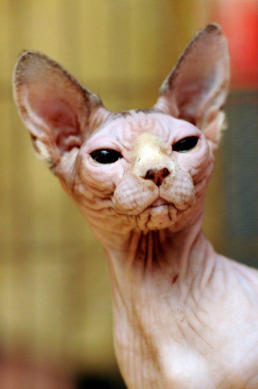 Állatvilág - Nemzetközi macskakiállítás