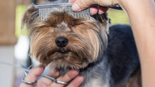 Front view of the head of Yorkshire terrier, who is combing by the groomer woman. The dog has eyes closed cute.