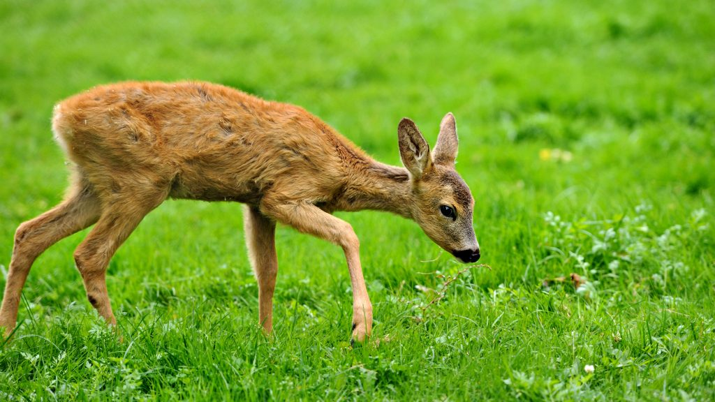 Close Deer in the natural environment in the summer