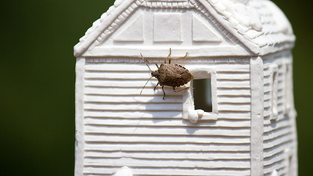Not previously seen on our contintent, stink bugs were accidentally introduced into eastern Pennsylvania and are now invading homes all over the eastern side of the country, from Maine to South Carolina. They are particularly pesky throughout the warm months of spring.