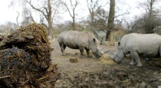 Handout image: Dublin Zoo introduces a sparkling new method to monitor their female white rhinos, Ashanti and Zanta, which involves adding different coloured glitter to the rhinos' feed to make it possible to tell the difference between their droppings.