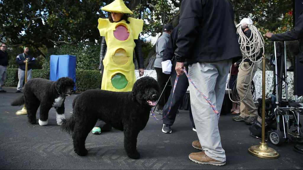 WASHINGTON, DC - OCTOBER 30:  The first family's dogs Bo (2nd L) and Sunny (L) are taken for a walk prior to a Halloween event at the South Lawn of the White House October 30, 2015 in Washington, DC. President Obama and the first lady will host local children and children of military families for trick-or-treating at the White House.  (Photo by Alex Wong/Getty Images)