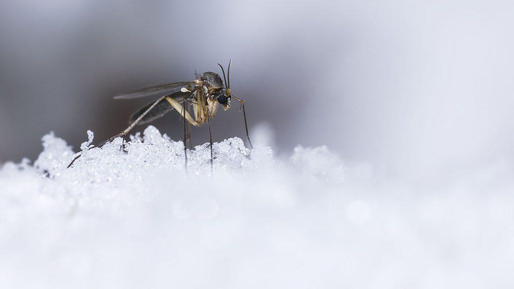 The Ice Mosquito