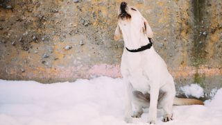 Homeless barking white labrador dog sitting outdoor in snow, winter season.