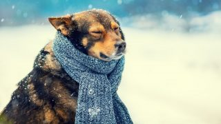 Portrait of a dog with knitted scarf tied around the neck walking in blizzard