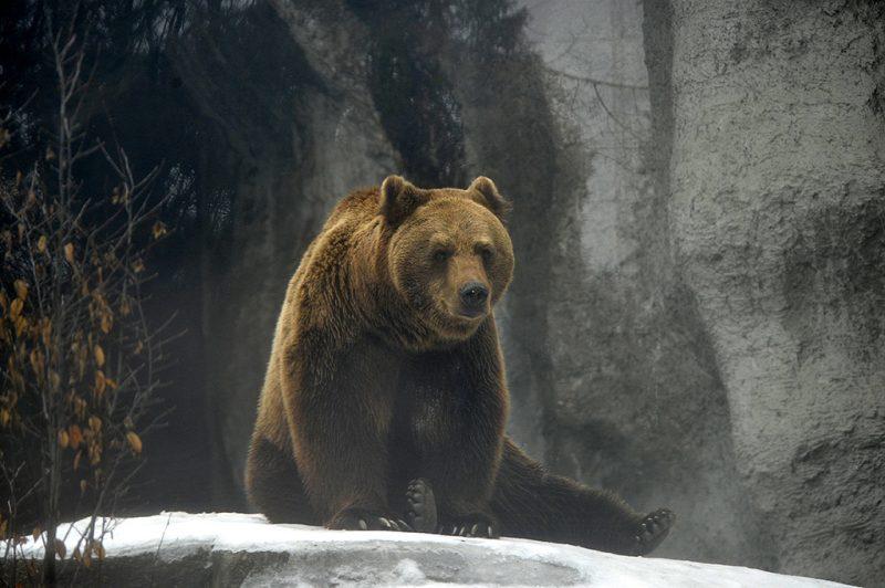 Budapest, 2017. február 2. A Fővárosi Állat- és Növénykert Tibor nevű kamcsatkai barnamedvéje 2017. február 2-án. A néphiedelem szerint, ha a medve ezen a napom kijön a barlangjából és nem látja az árnyékát, akkor nem lesz hosszú a tél. MTI Fotó: Kovács Attila