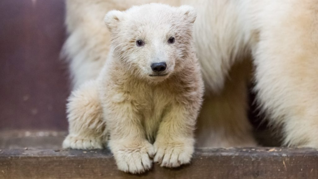 """This handout photo released by Tierpark Berlin (Berlin zoo) on February 24, 2017 shows three month old polar bear Fritz with his mother Tonja in its enclosure in Berlin. / AFP PHOTO / TIERPARK BERLIN AND AFP PHOTO / Handout / RESTRICTED TO EDITORIAL USE - MANDATORY CREDIT """"AFP PHOTO / TIERPARK BERLIN / HANDOUT"""" - NO MARKETING NO ADVERTISING CAMPAIGNS - DISTRIBUTED AS A SERVICE TO CLIENTS"""