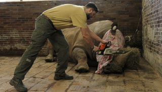"""This undated handout photo made available by Dvur Kralove Zoo on March 21, 2017 shows a rhino having its horn cut off at the zoo in Dvur Kralove, north-eastern Czech Republic. The Czech zoo said it had begun to saw off the horns from its herd of rare rhinos after a brutal attack two weeks ago in a French zoo where poachers shot dead a white rhino and hacked off its horns. / AFP PHOTO / Dvur Kralove Zoo / Simona JIRICKOVA / RESTRICTED TO EDITORIAL USE - MANDATORY CREDIT """"AFP PHOTO / DVUR KRALOVE ZOO / SIMONA JIRICKOVA"""" - NO MARKETING - NO ADVERTISING CAMPAIGNS - DISTRIBUTED AS A SERVICE TO CLIENTS"""