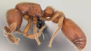 AntWeb.org image of Order:Hymenoptera Family:Formicidae Genus:Cerapachys Species:Cerapachys biroi Specimen:casent0059682 View:profile