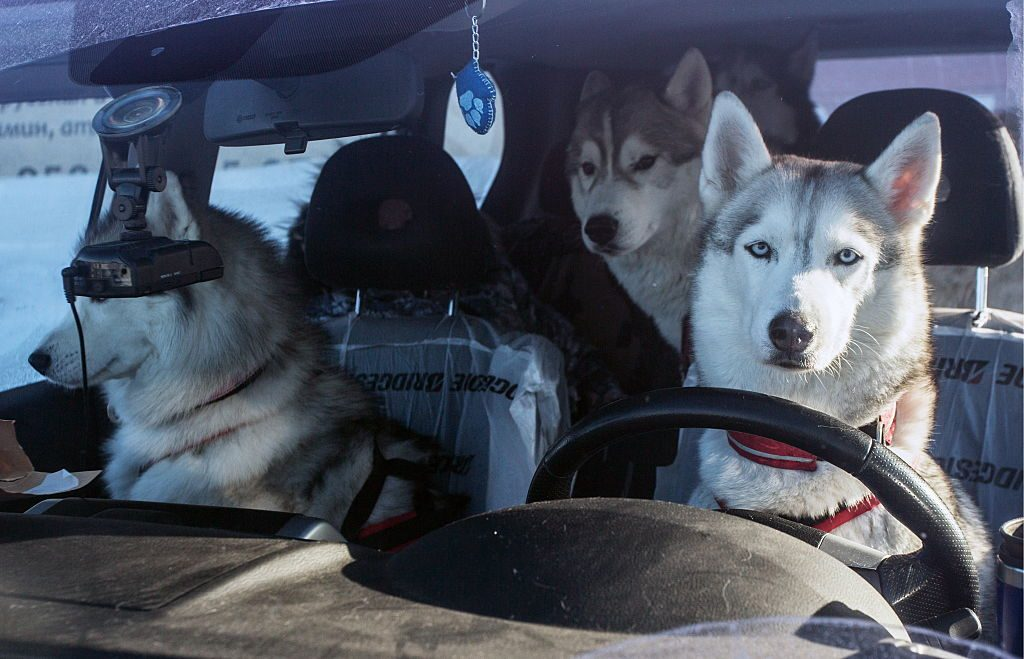 OMSK REGION, RUSSIA - JANUARY 29, 2017: Husky dogs seen in a car ahead of a dog sledding race in Krutaya Gorka District. The Hyperborea 2017 tournament also includes an open Omsk Region championship and a stage of the dog sledding Russian Cup. Dmitry Feoktistov/TASS (Photo by Dmitry FeoktistovTASS via Getty Images)