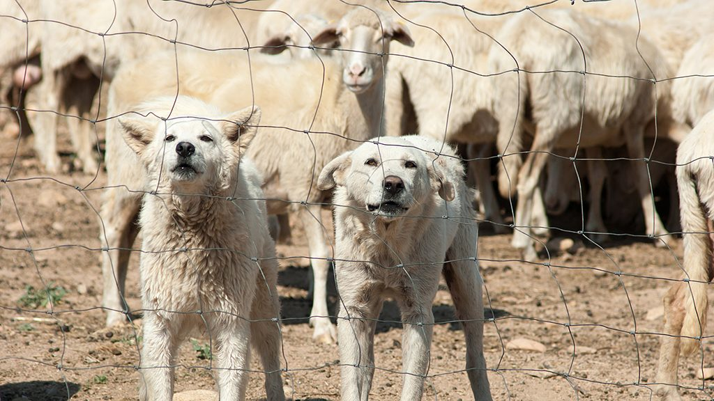 white sheepdogs in different expressions