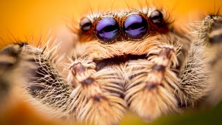 One of the largest jumping spider of the planet.